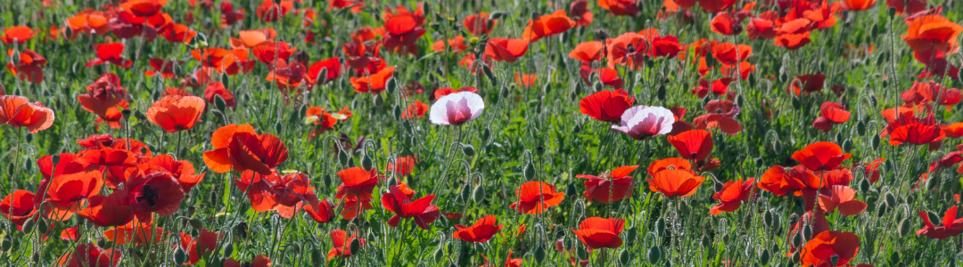 Fredericksburg poppies - Varay Managed IT
