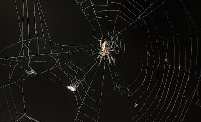 Spider in a spider web on a black background.